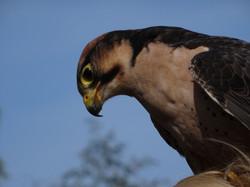 Falke  (7)
