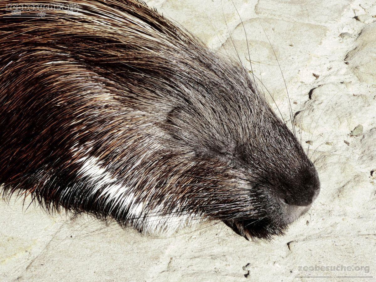 Stachelschwein  (4)