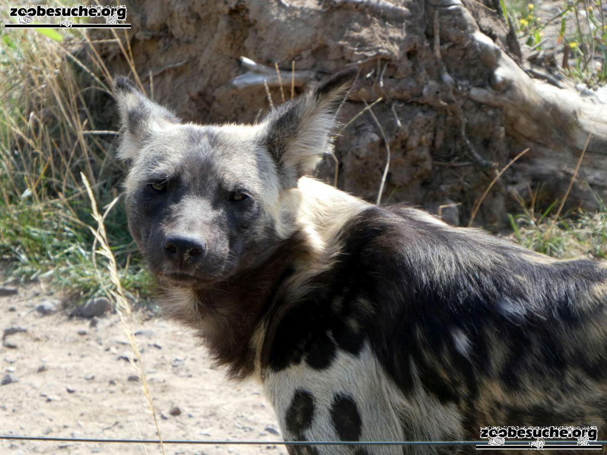 Afrikanischer Wildhund  (2)