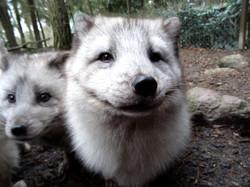 Polarfuchs  (25)