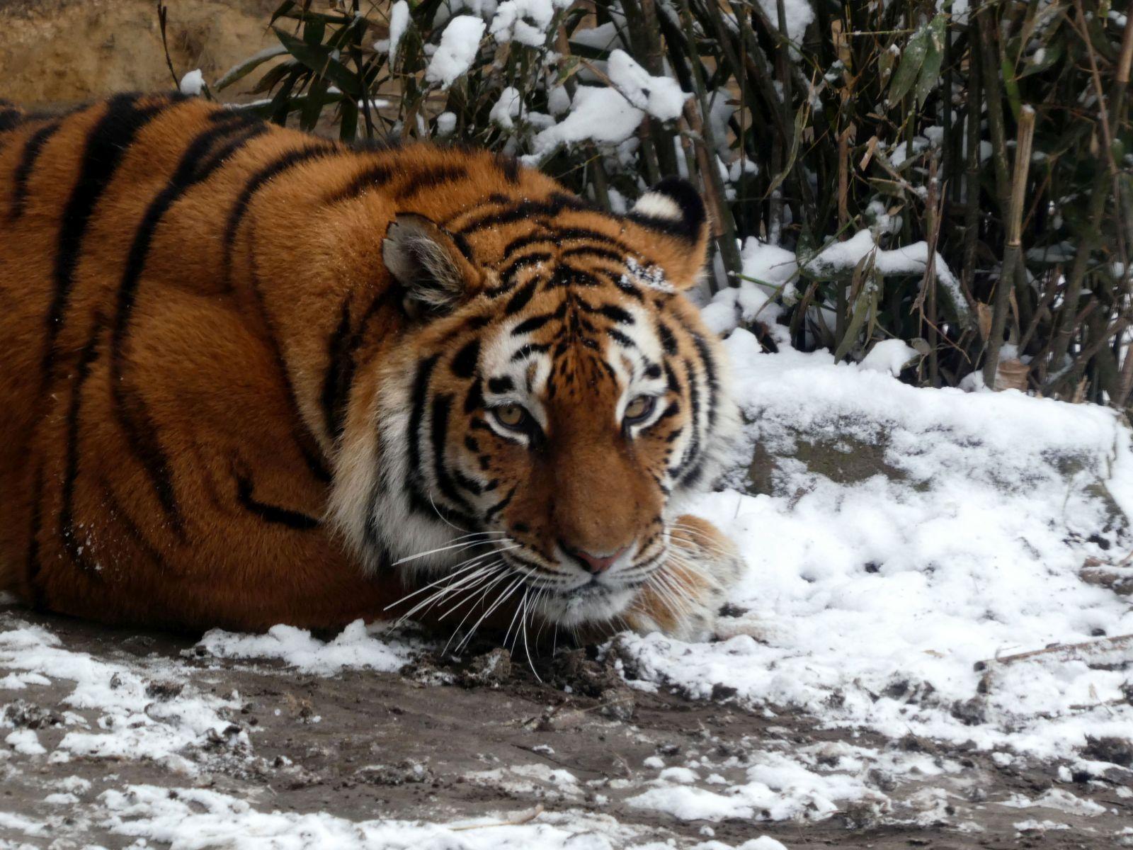 Tiger  (8)