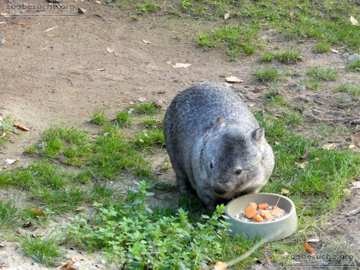 Nacktnasenwombat  (14)