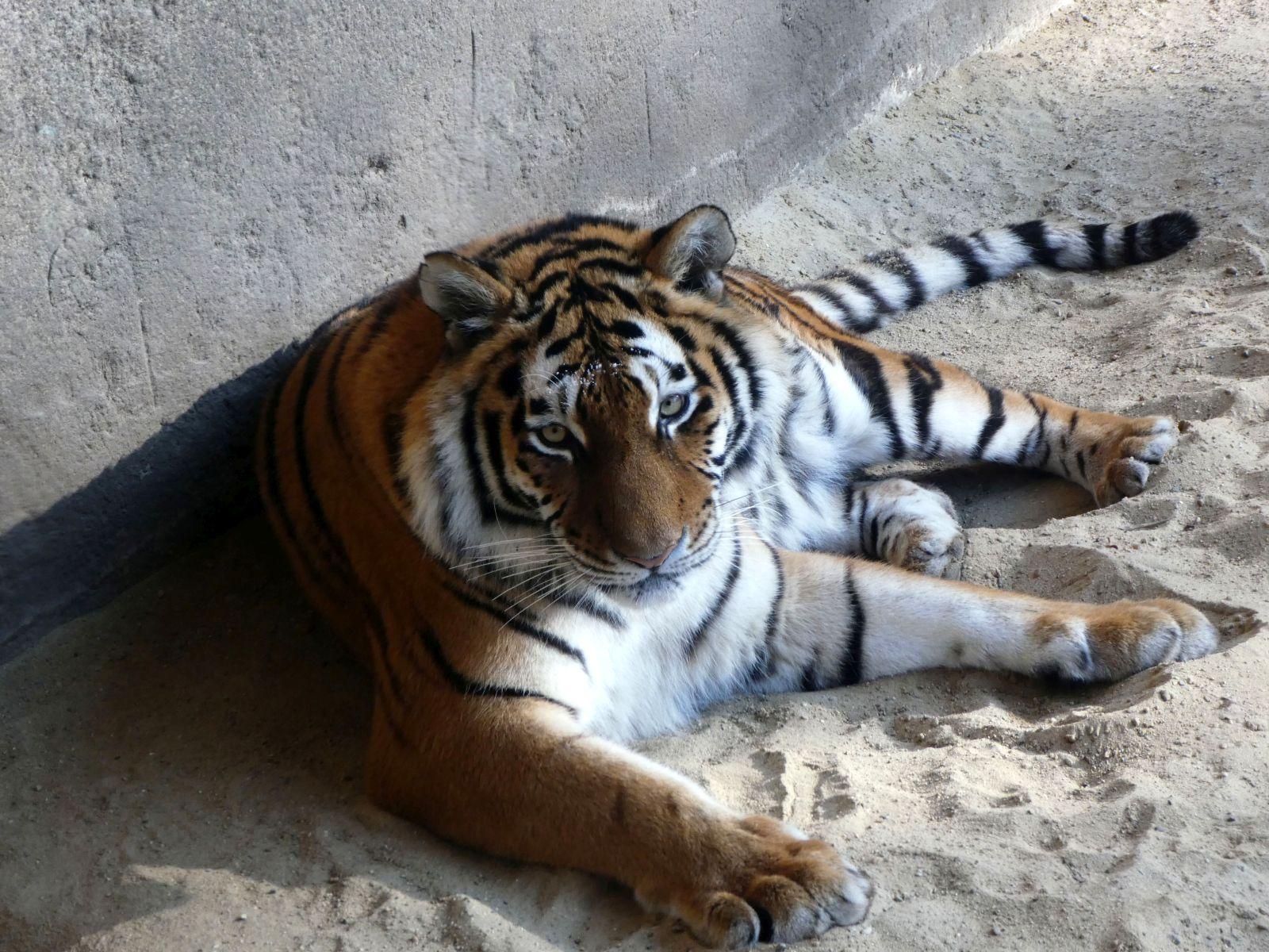 Tigerin Alexa  (2)
