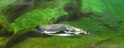 Humboldt-Pinguin  (1)