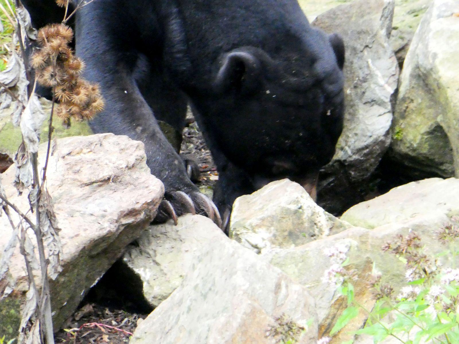 Malaienbär  (4)