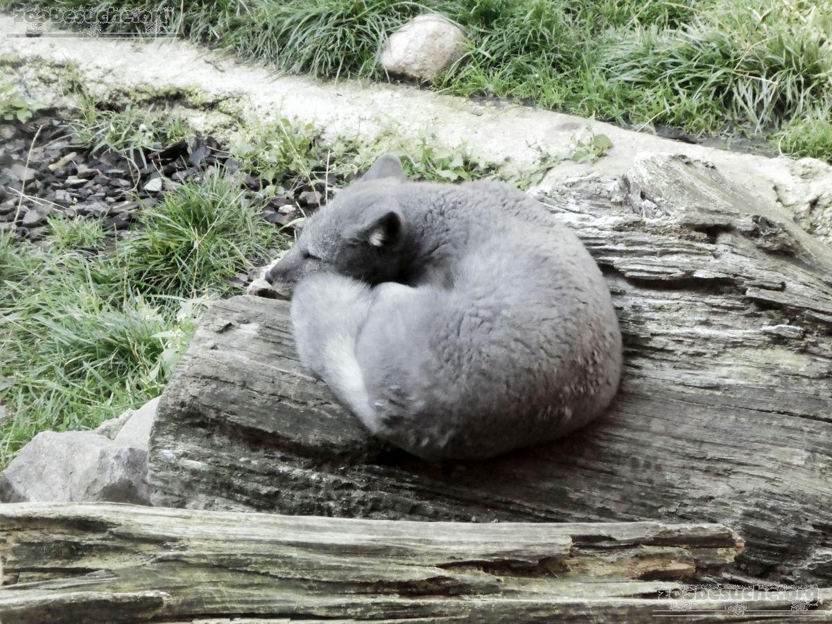 Polarfuchs  (3)