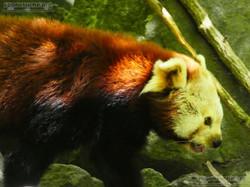 Roter Panda  (15)