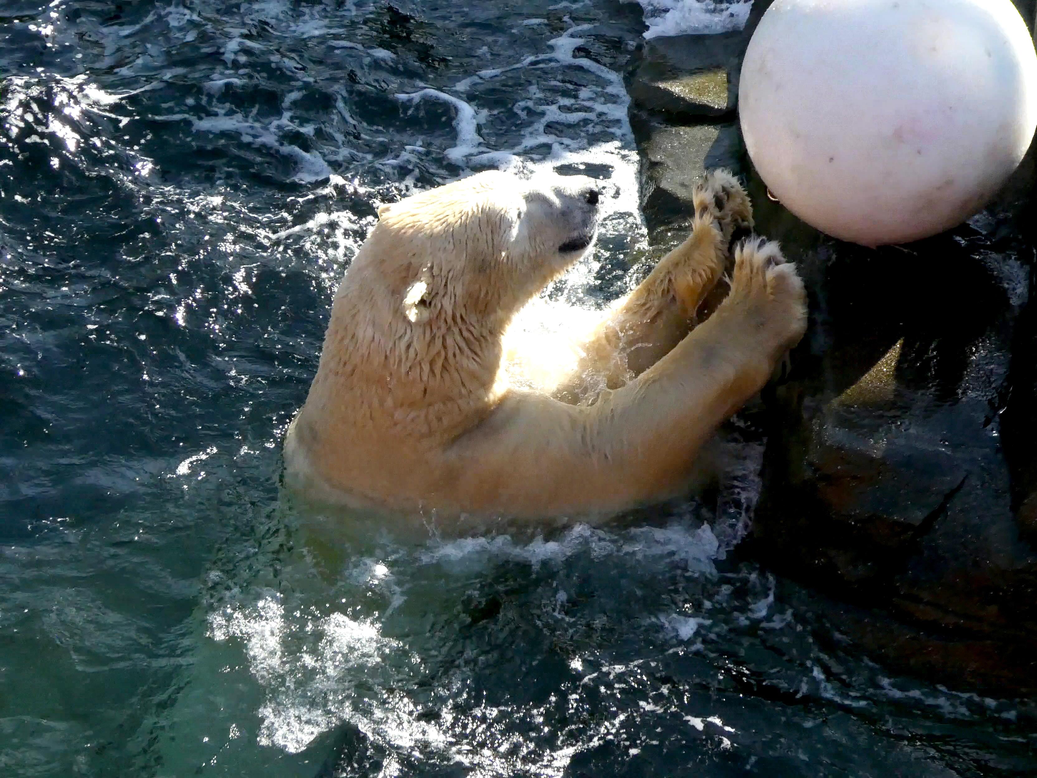 Eisbär  (33)