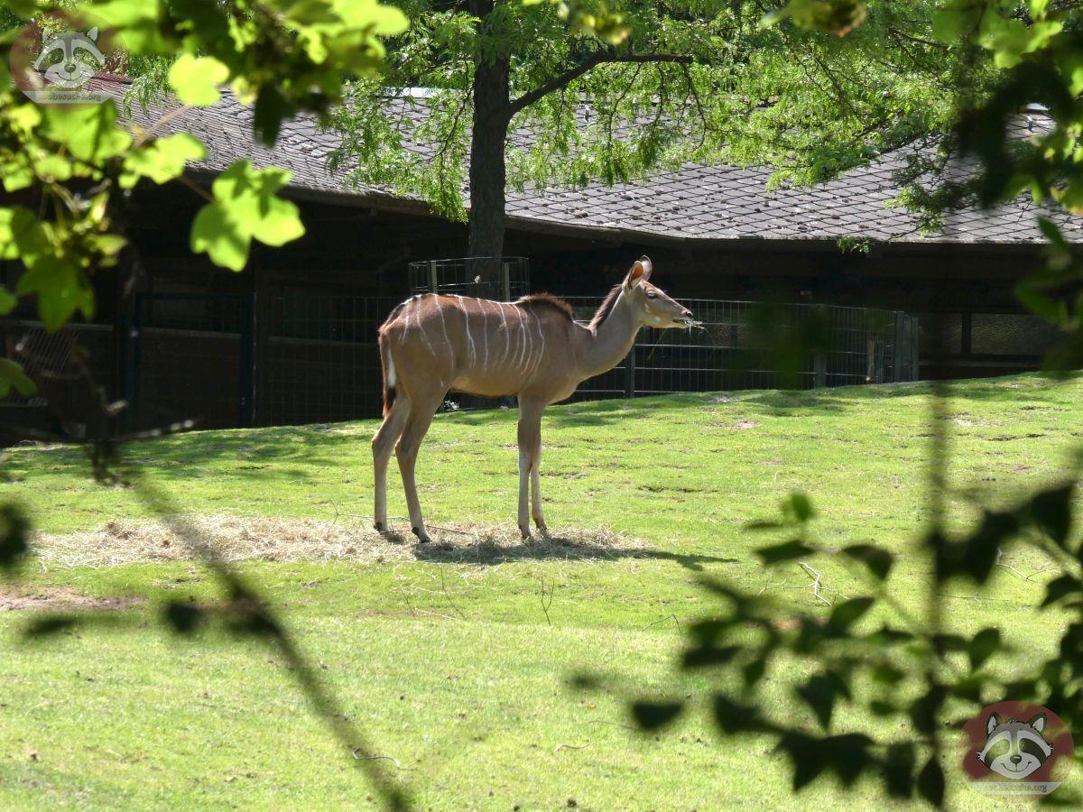 Großer_Kudu