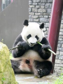 Panda  (31)