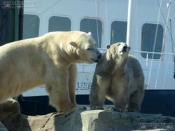 Eisbären_Milana_und_Sprinter__(9)