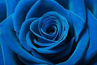 Close up image of beautiful blue rose.jp