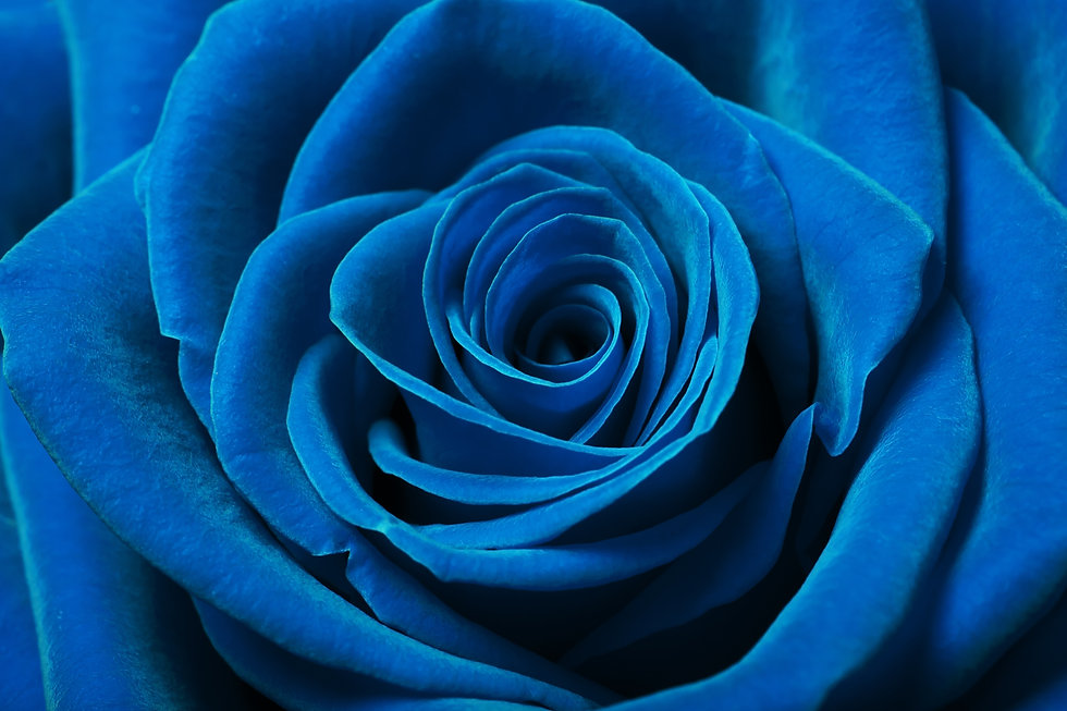 Close up image of beautiful blue rose.jp