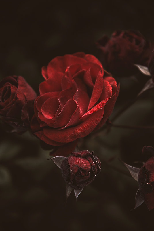 Dark red rose_edited.jpg