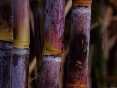A força da cana de açúcar em uma matriz energética sustentável