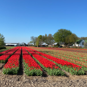 The flower fields in Holland