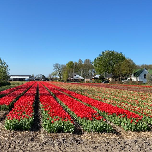 The flower fields in Holland