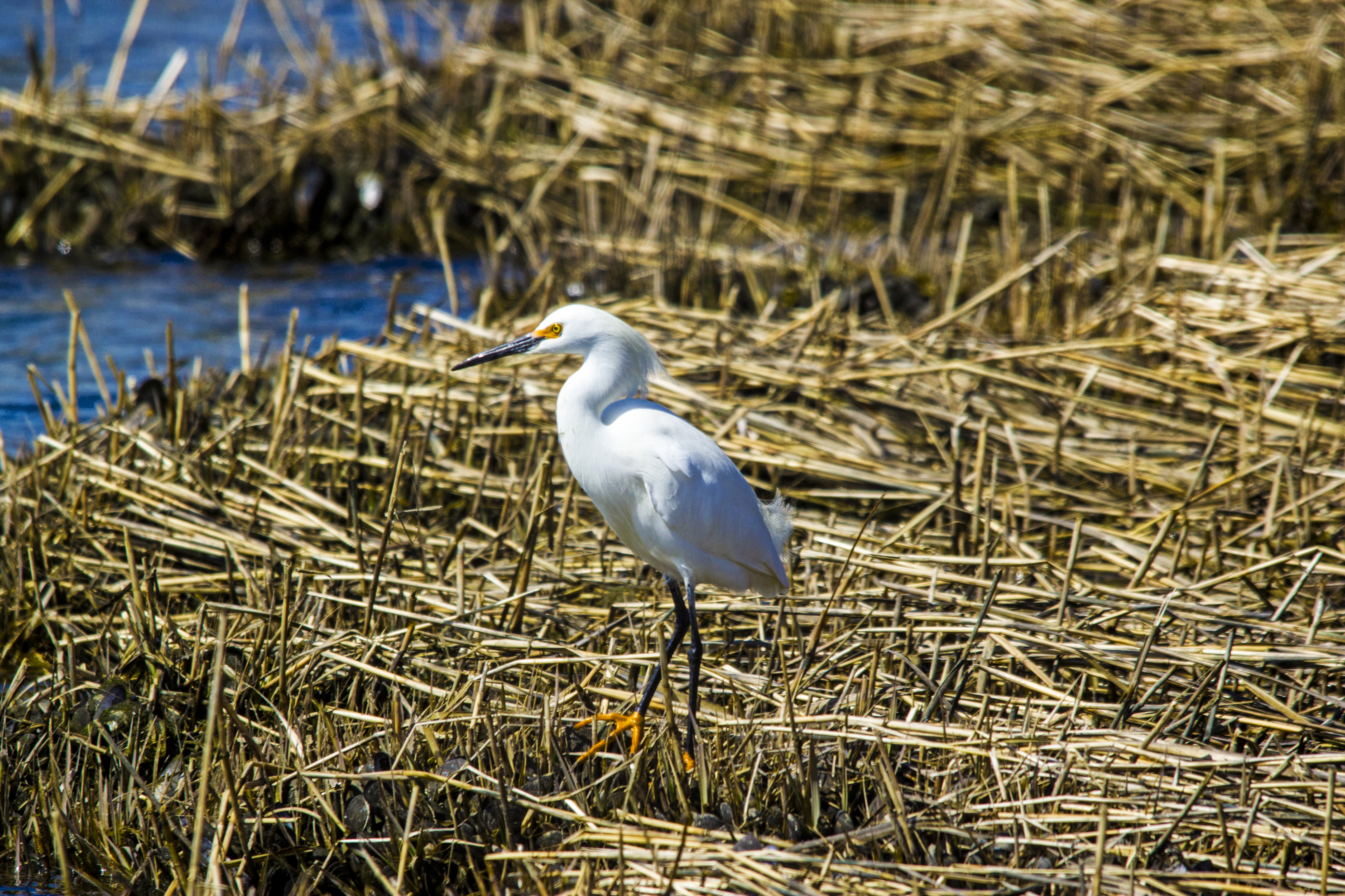southampton egret