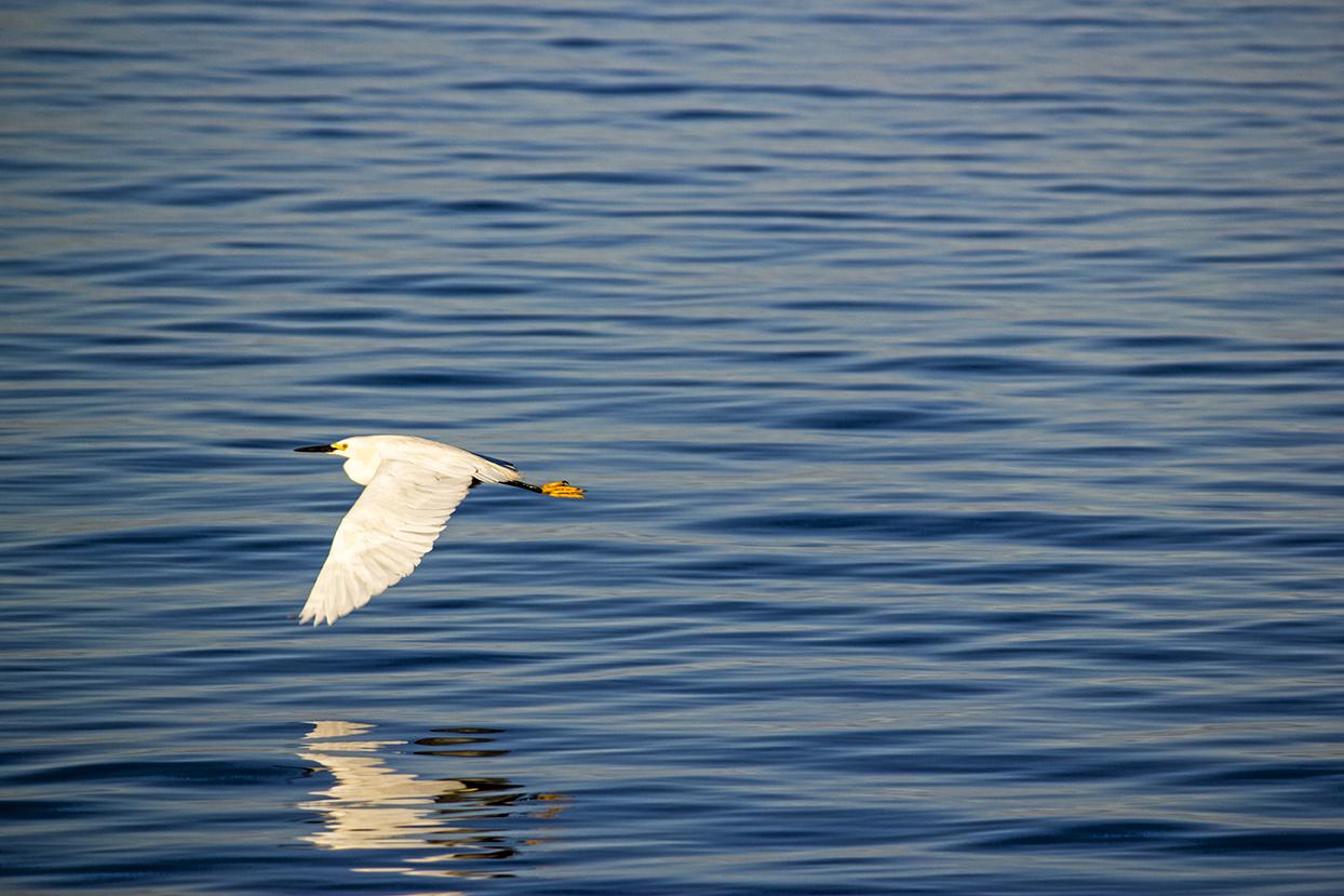 orient egret