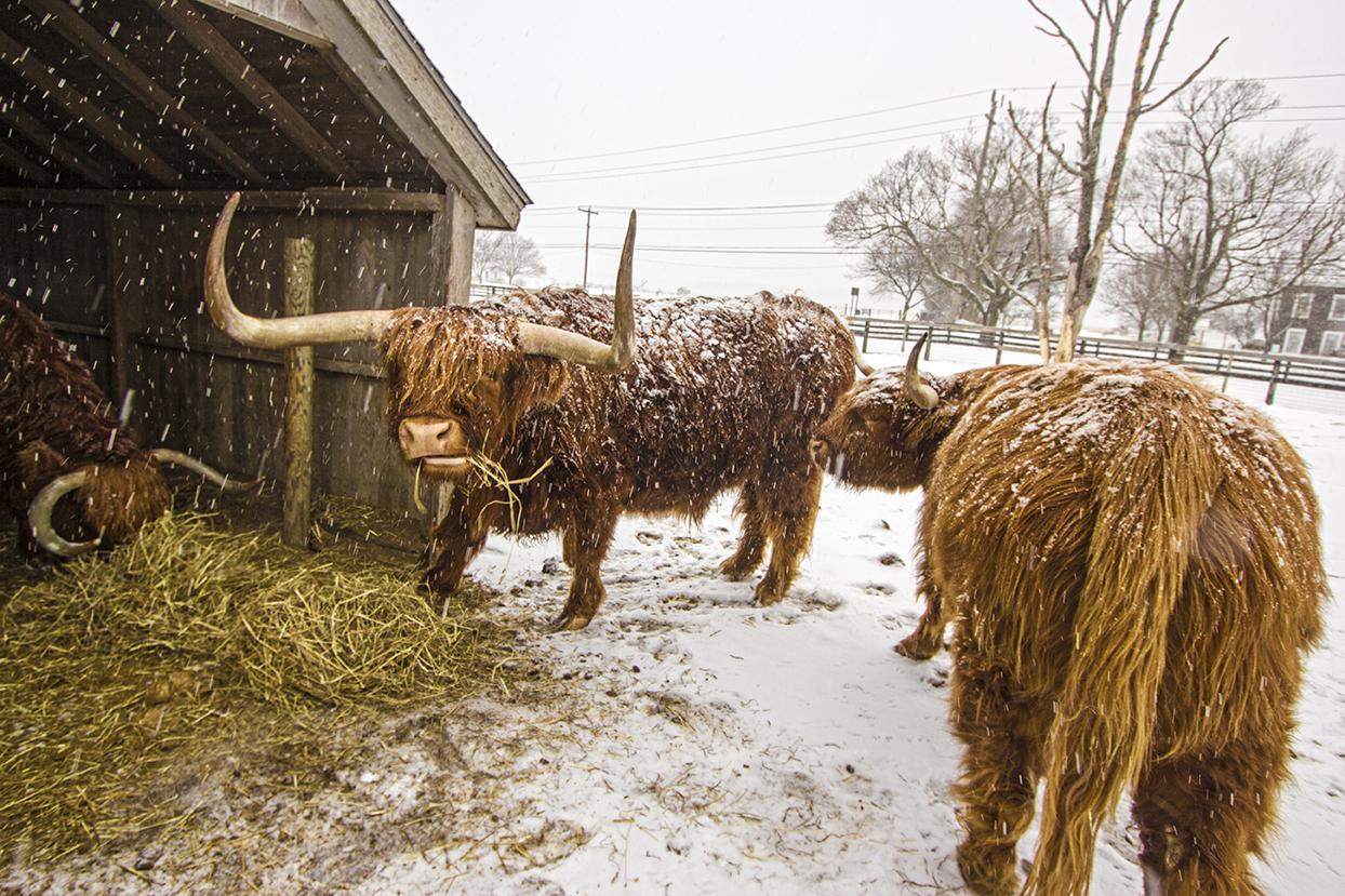 martha clara bulls