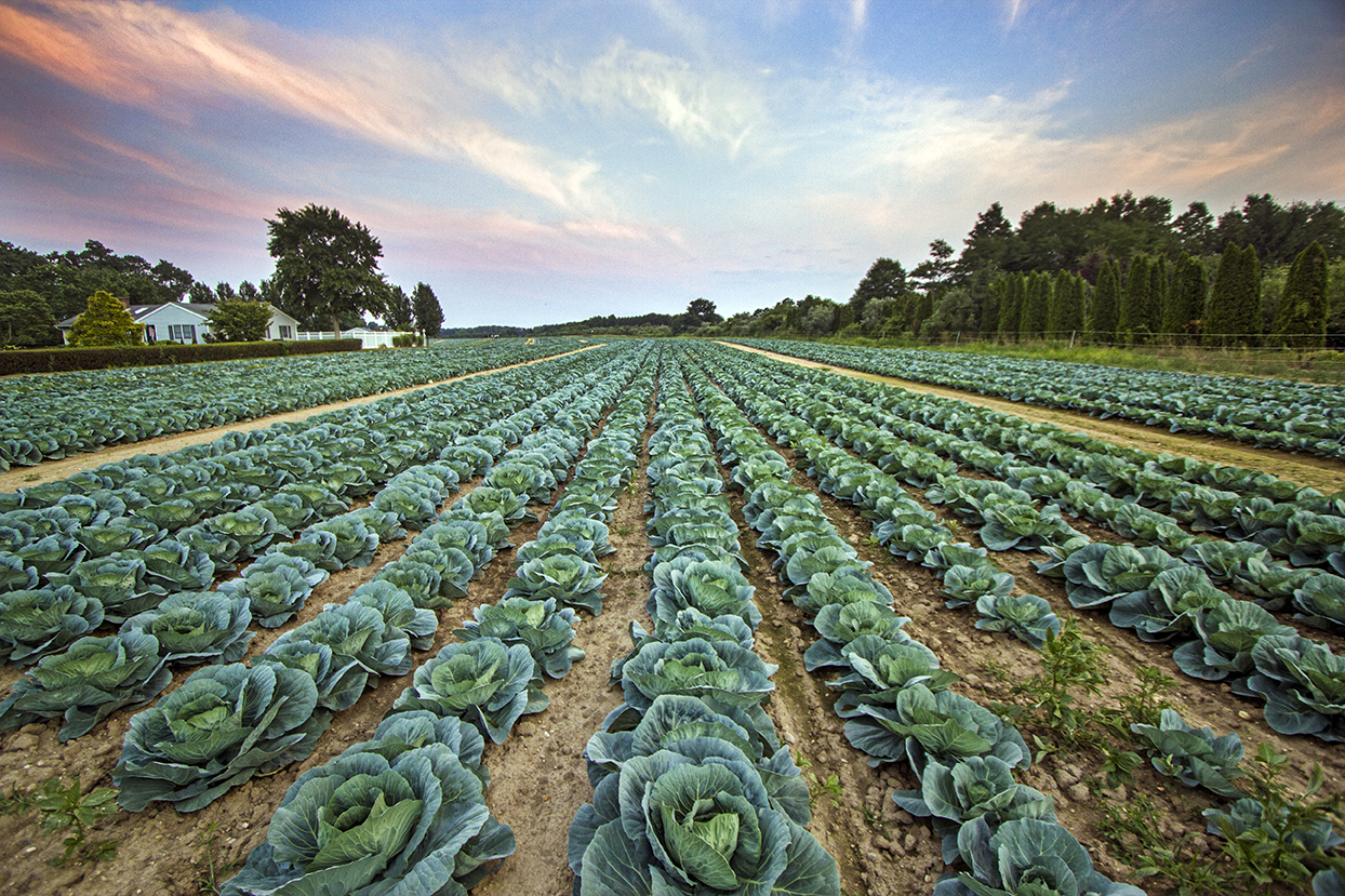 jamesport cabbage field