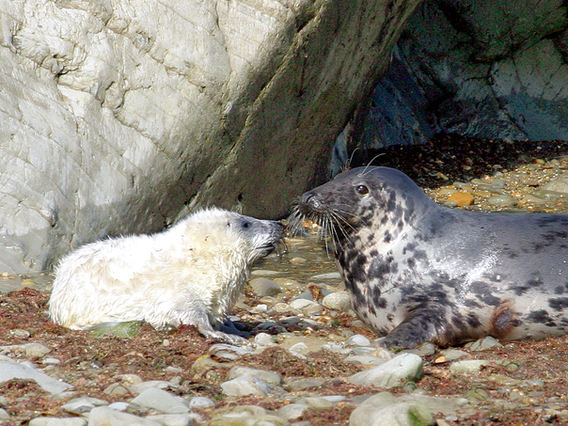 Seal and pup at Cwmtydu.  Photograph by Gill Willmott.