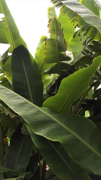 Banana Trees Hawaii
