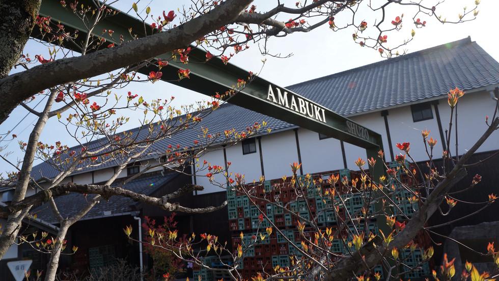 Amabuki (1).JPG