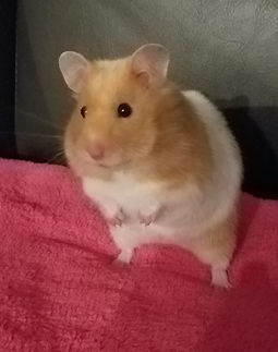 Syrian_hamster_on_blanket.jpg