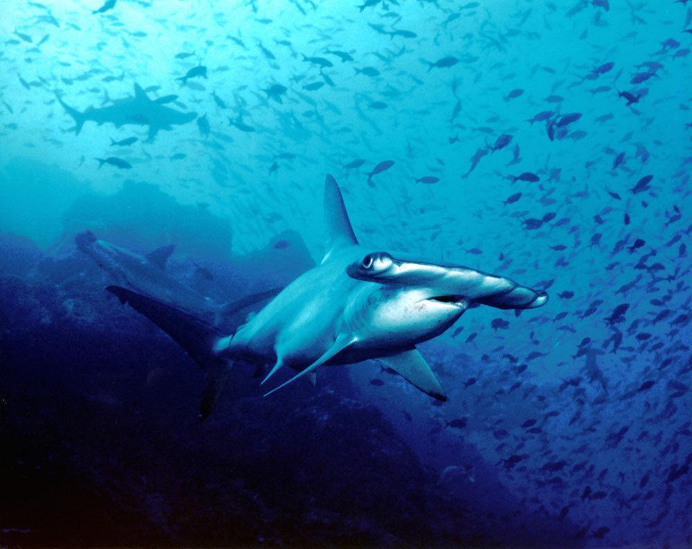Hammerhead shark eating