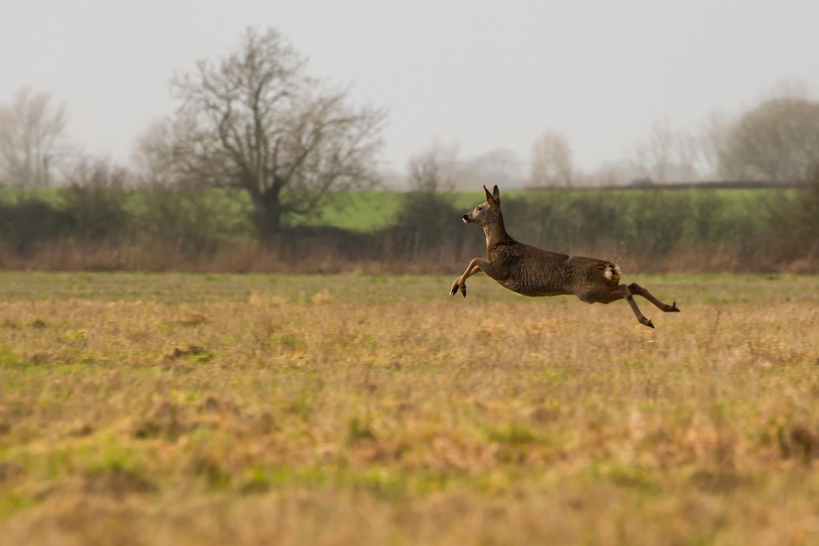 Deer in the fenlands