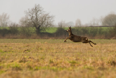 Deer in the fenlands