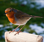 close-up-robin-perched-spade-handle-snow
