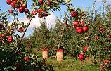 apple-1873078__340.jpg
