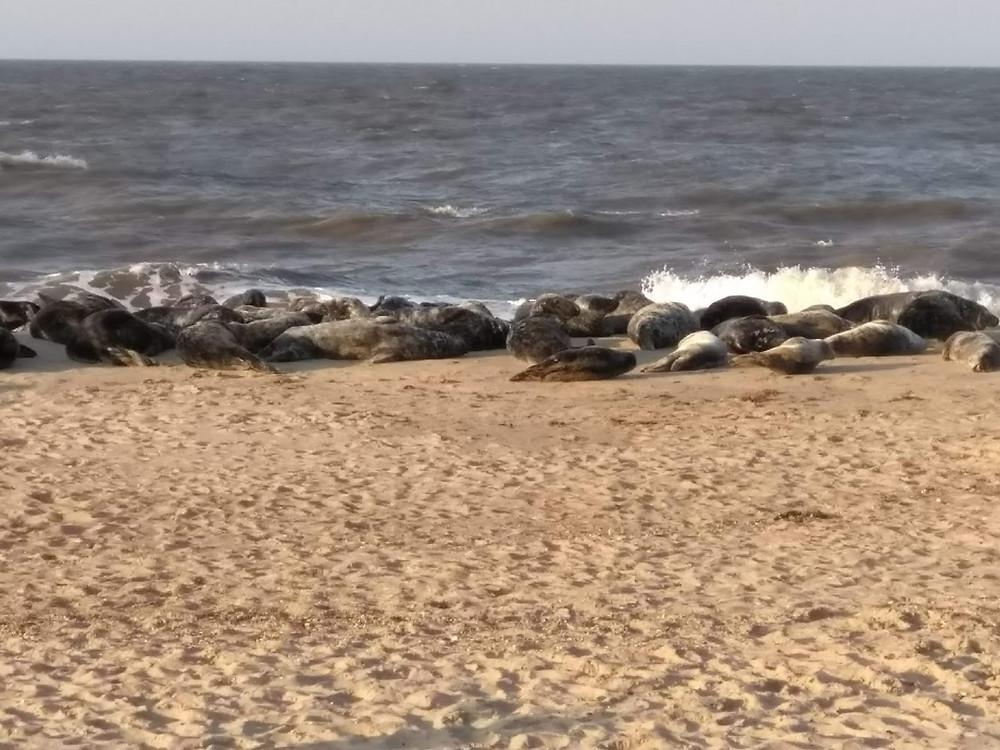 Seals at Horsey Gap - visit when staying at poolside lodges, norfolk
