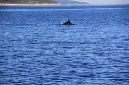 Delfine vor Kroatien