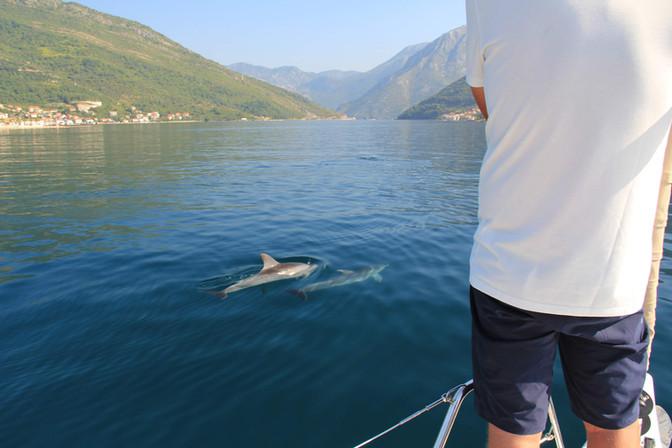 Delfine in der Bucht von Kotor
