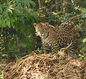 Jaguar-in-Pantanal,-Brazil.jpg
