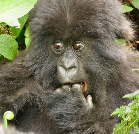 Mountain Gorilla youngster in Rwanda