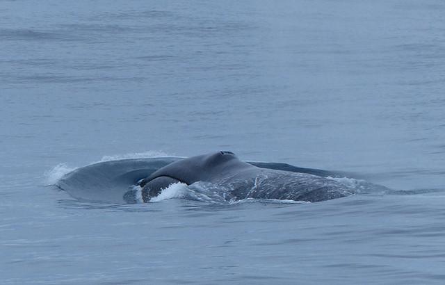 Bowhead Whale; Baffin Island