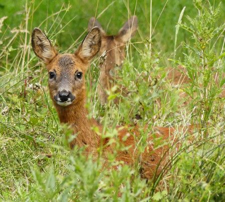 Roe deer at Levisham North Yorkshire