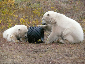 Polar-Bear-cubs,-Hudson-Bay.jpg