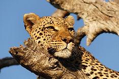 Selinda-leopard,-Botswana.jpg