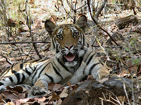 Tiger-Female-Cub-India-.jpg