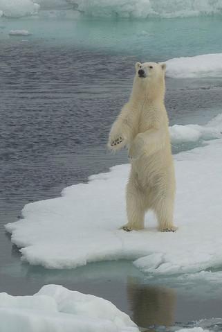Standing bear Svalbard