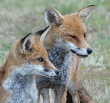 Vixen and cub in Bristol June 2020.jpg