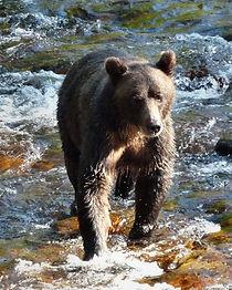 Grizzly-Bear,-BC-Canada-.jpg
