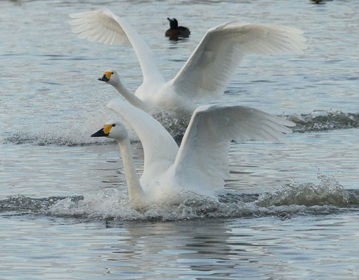 Bewick Swans at Slimbridge