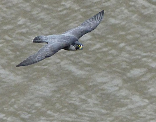 Flying%2520peregrine%2520sharpened%2520M