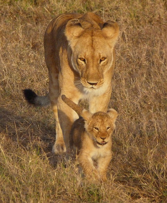 Lion pair in Massai Mara